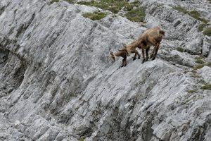 Gämse - Geiß mit Kitz in Felswand