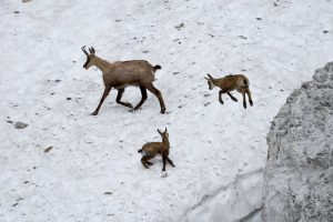 Gämse - spielende Gamskitze im Schnee