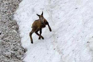 Gämse - Gamskitz spielt im Schnee