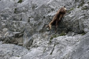 Gämse-Gamsbock in Felswand