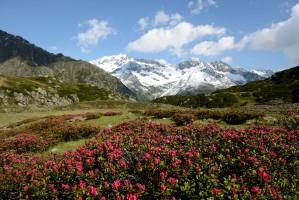 Rostblättrige Alpenrose (Rhododendron ferrugineum)