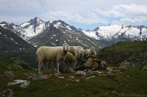 Schafe vor Granatenkogel und Hinterem Seelenkogel