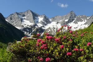 Rostblättrige Alpenrose (Rhododendron ferrugineum) mit Grundschartner und Mugler