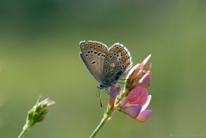 Kleiner Esparsetten-Bläuling (Polyommatus thersites)