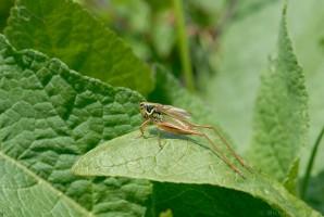 Roesels Beißschrecke (Metrioptera roeselii