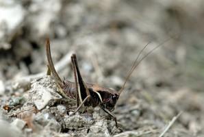 Alpen-Strauchschrecke (Pholidoptera aptera)