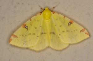 Gelbspanner (Opisthograptis luteolata)