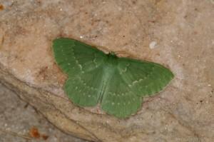 Grünes Blatt (Geometra papilionaria)