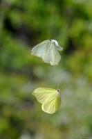 Zitronenfalter (Gonepteryx rhamni), Balzflug