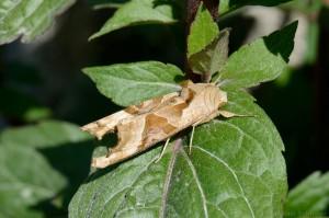 Achateule bzw. Mangoldeule (Phlogophora meticulosa)