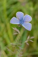 Bläuling (Lycaenidae)