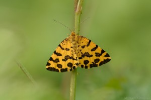 Gelber Fleckenspanner, Pantherspanner (Pseudopantera macularia)