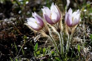 Küchenschellen (Pulsatilla alpina)