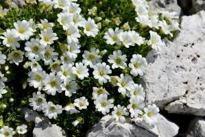 Alpen-Hornkraut (Cerastium alpinum)