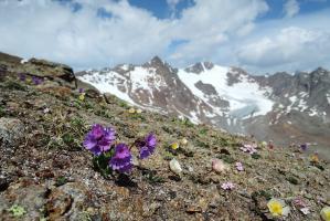 Echte Speik (Valeriana celtica), Gletscher-Hahnenfuß (Ranunculus glacialis)
