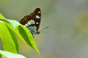 Blauschwarzer Eisvogel (Limenitis reducta)