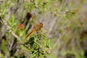 Segellibelle (Libellulidae)