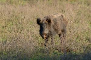 Wildschwein (Sus scrofa)