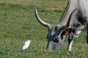 Kuhreiher (Bubulcus ibis)  mit Maremma Rind