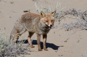 Rotfuchs (Vulpes vulpes) im Sand