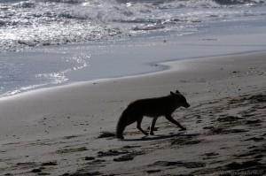 Rotfuchs (Vulpes vulpes) am Meer