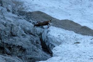 Gämse springt über Bergschrund
