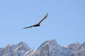 Steinadler fliegt über Berge