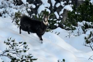 Gamsbock, Winter, Schnee