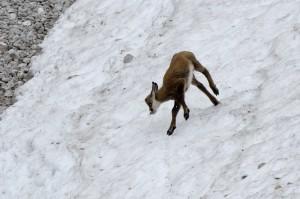 Gamskitz, verspielt, Schnee