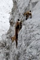 Gamsgeiß mit Kitz in Felswand