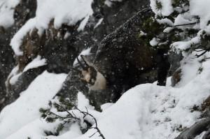 Gämse bei Schneefall