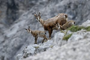 Gämse - Gamsgeiß mit Kitzen im Frühling