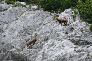 Gämse-Gamsböcke in Felswand