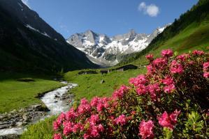 Rostblättrige Alpenrose (Rhododendron ferrugineum) mit Grundschartner, Mugler und Willhelmer