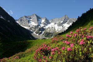 Grundschartner Bodenalm Alpenrosen 180610 015 02