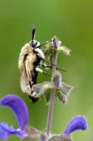 Skabiosenschwärmer (Hemaris tityus)