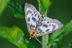 Brennesselzünsler (Eurrhypara hortulata)