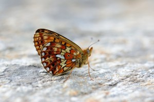 Früher Perlmuttfalter (Boloria euphrosyne)