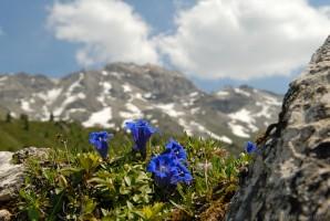 Breitblättriger Enzian (Gentiana kochiana)