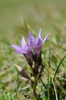 Deutscher Fransenenzian (Gentianella germanica)