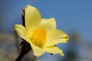 Schwefelanemone (Pulsatilla alpina subsp. apiifolia)