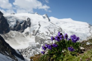 Blauer Speik, Klebrige Primel (Primula glutinosa)