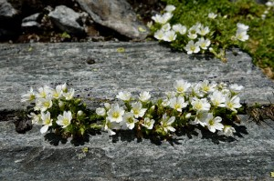 Hornkraut (Cerastium)