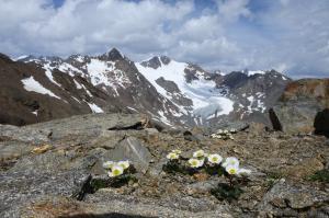 Gletscher-Hahnenfuß (Ranunculus glacialis)