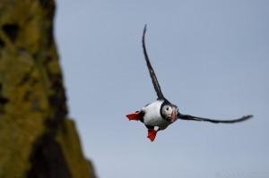 Papageitaucher (Fratercula arctica) im Flug