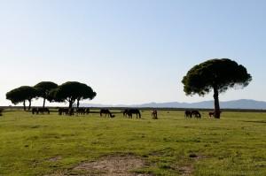 Maremma-Pferde (cavallo maremmano)