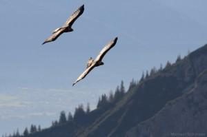 Zwei Steinadler im Flug