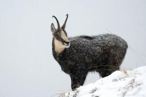 Gamsbock bei Schneefall